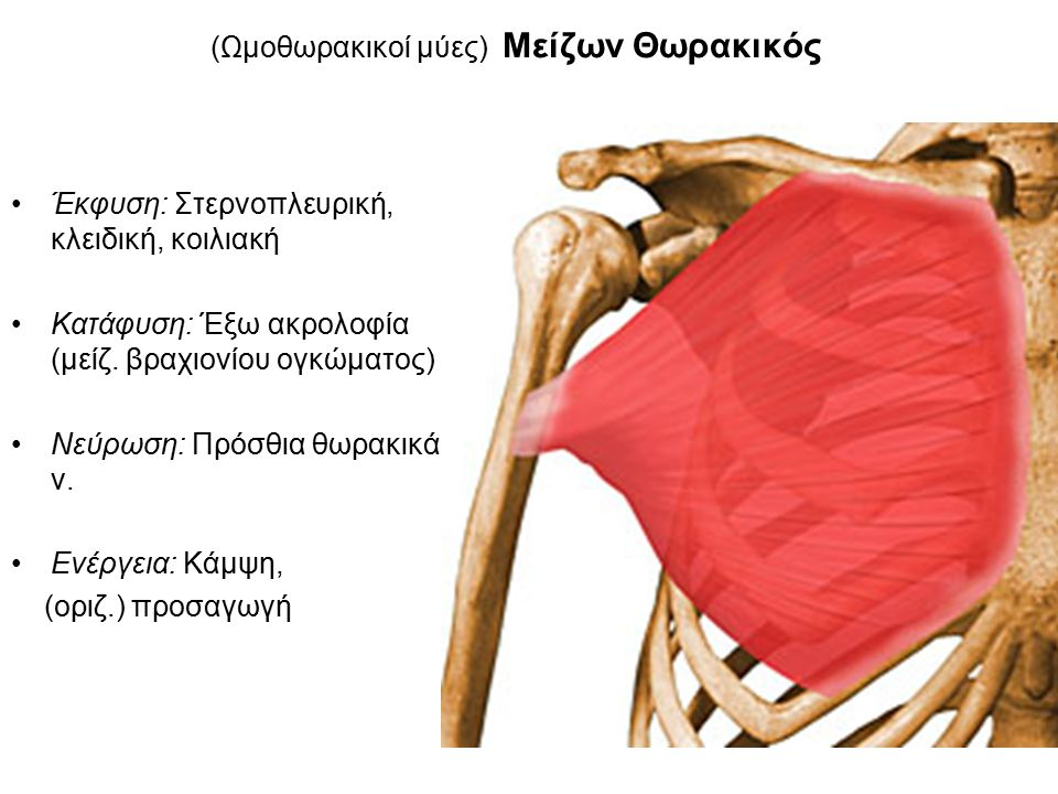 (Ωμοθωρακικοί μύες) Μείζων Θωρακικός