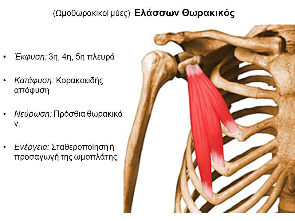(Ωμοθωρακικοί μύες) Ελάσσων Θωρακικός