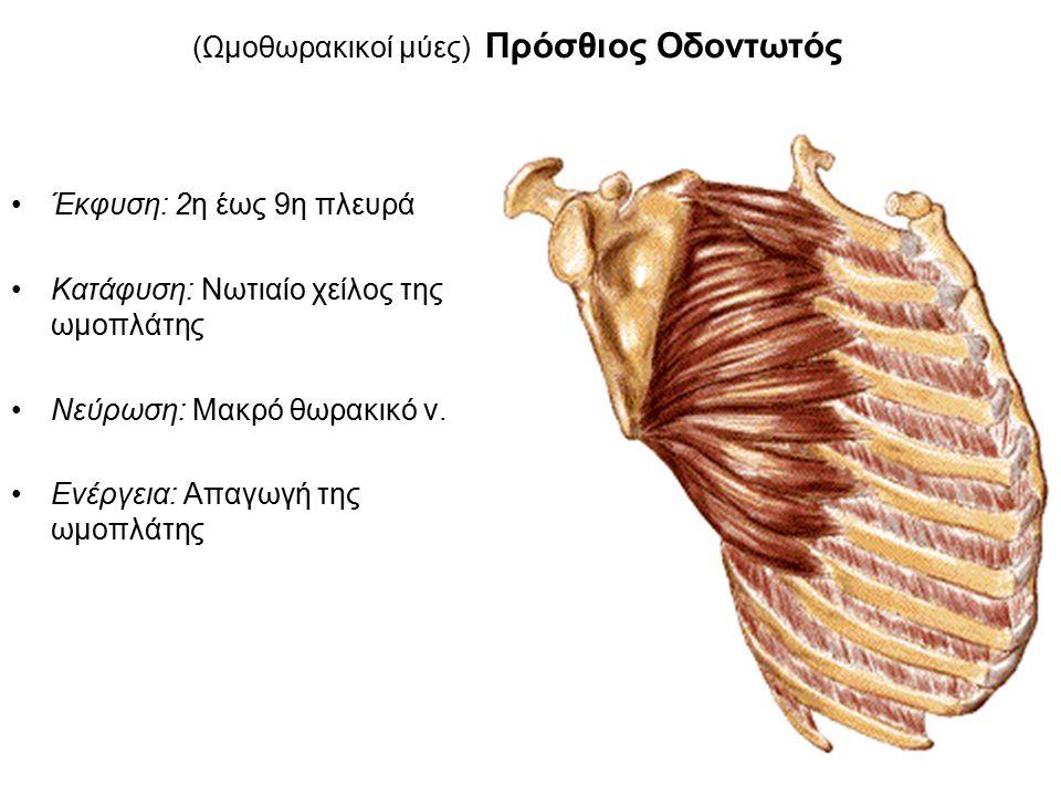 (Ωμοθωρακικοί μύες) Πρόσθιος Οδοντωτός
