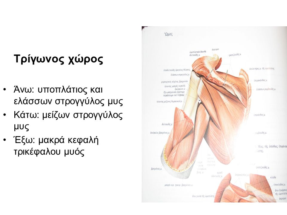 Τρίγωνος χώρος Άνω: υποπλάτιος και ελάσσων στρογγύλος μυς