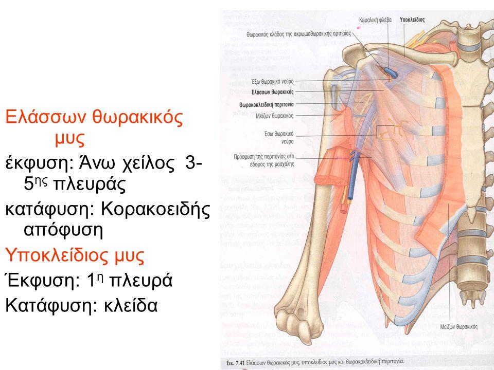 Ελάσσων θωρακικός μυς έκφυση: Άνω χείλος 3-5ης πλευράς. κατάφυση: Κορακοειδής απόφυση. Υποκλείδιος μυς.