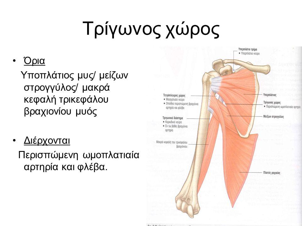 Τρίγωνος χώρος Όρια. Υποπλάτιος μυς/ μείζων στρογγύλος/ μακρά κεφαλή τρικεφάλου βραχιονίου μυός. Διέρχονται.
