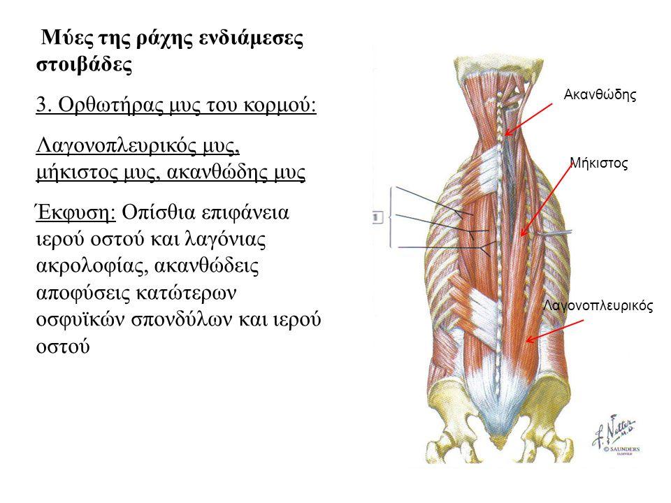 3. Ορθωτήρας μυς του κορμού:
