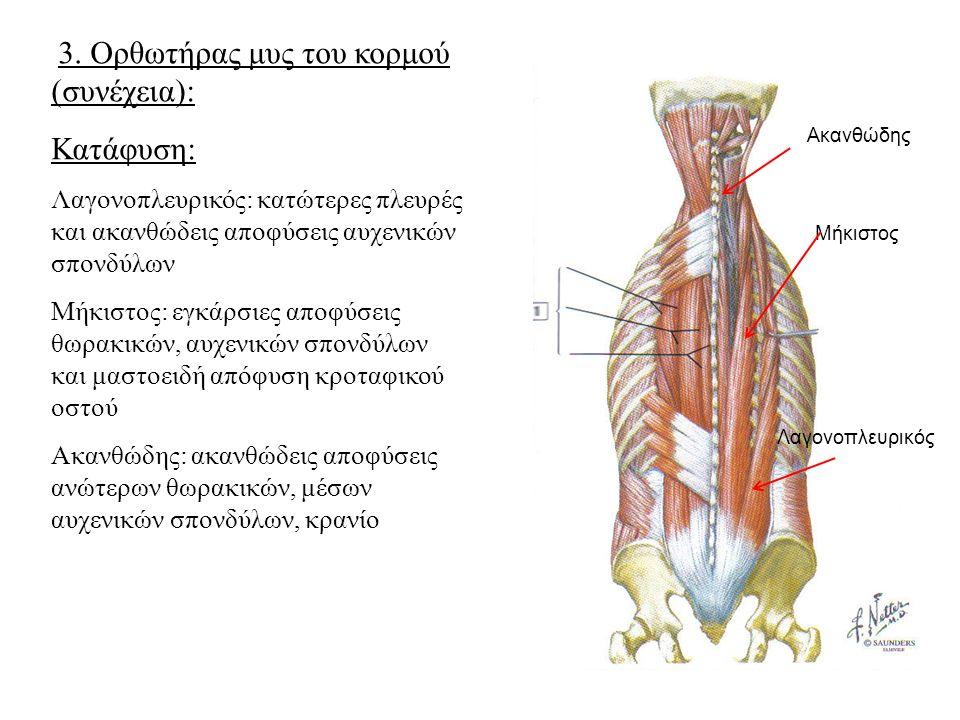 Κατάφυση: 3. Ορθωτήρας μυς του κορμού (συνέχεια):