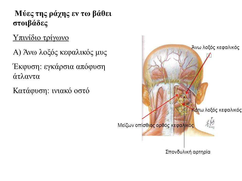 Α) Άνω λοξός κεφαλικός μυς Έκφυση: εγκάρσια απόφυση άτλαντα