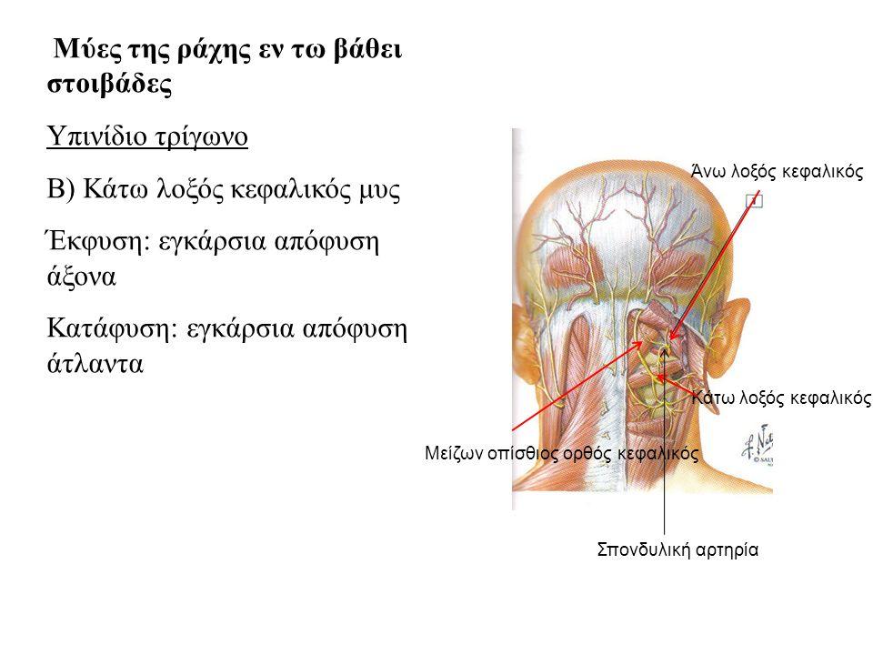 Β) Κάτω λοξός κεφαλικός μυς Έκφυση: εγκάρσια απόφυση άξονα