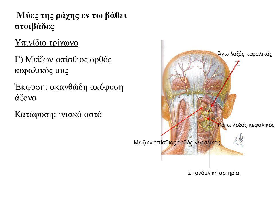 Γ) Μείζων οπίσθιος ορθός κεφαλικός μυς