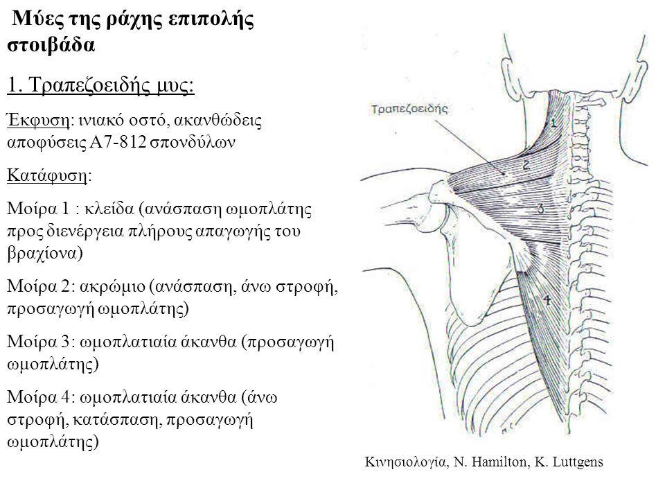 1. Τραπεζοειδής μυς: Μύες της ράχης επιπολής στοιβάδα