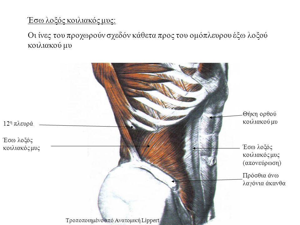 Έσω λοξός κοιλιακός μυς: