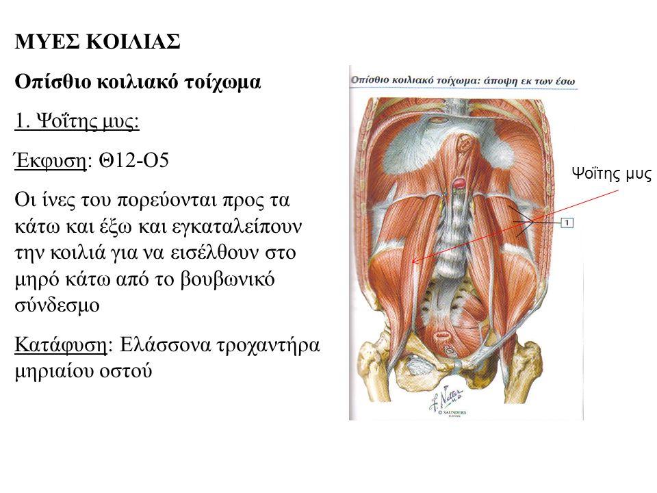 Οπίσθιο κοιλιακό τοίχωμα 1. Ψοΐτης μυς: Έκφυση: Θ12-Ο5