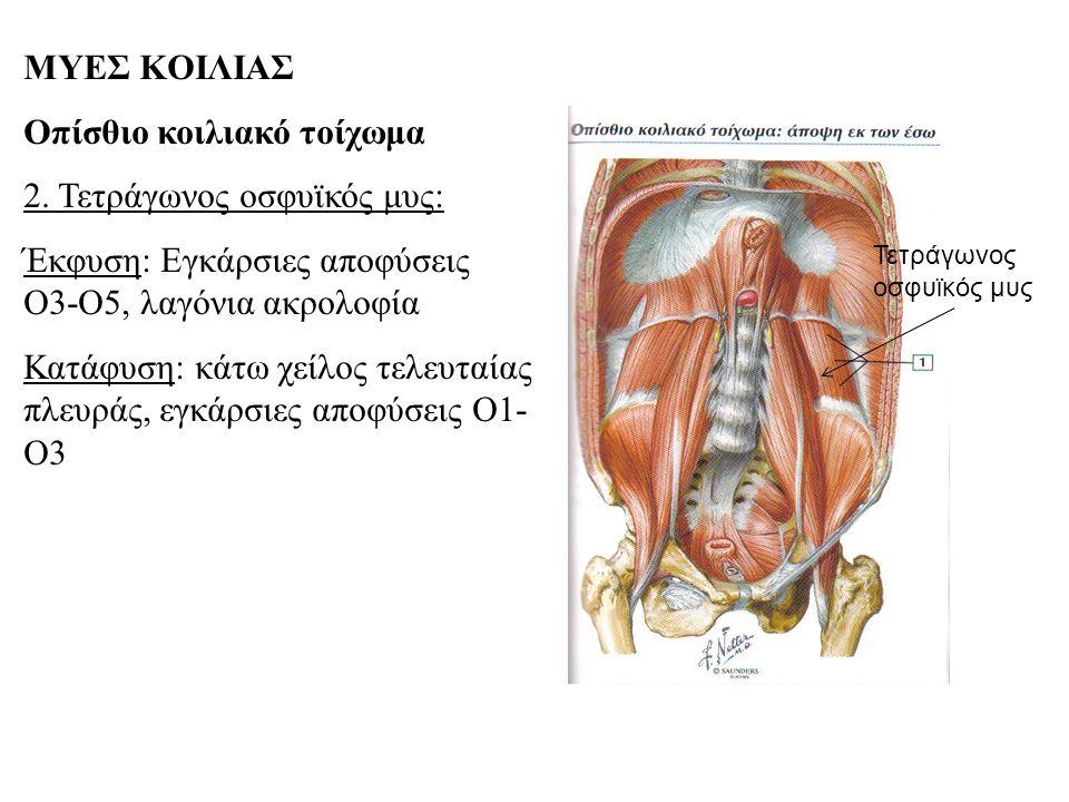 Οπίσθιο κοιλιακό τοίχωμα 2. Τετράγωνος οσφυϊκός μυς: