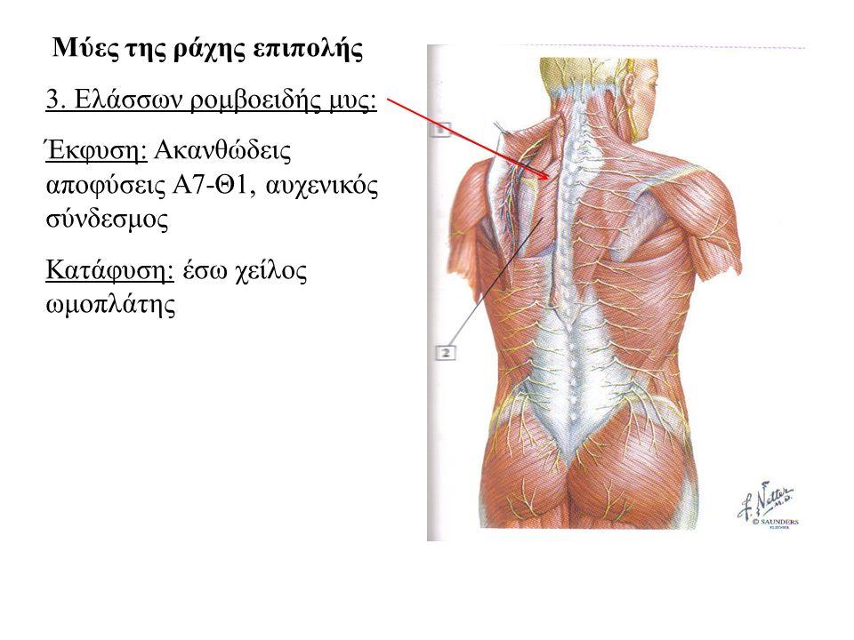 3. Ελάσσων ρομβοειδής μυς: