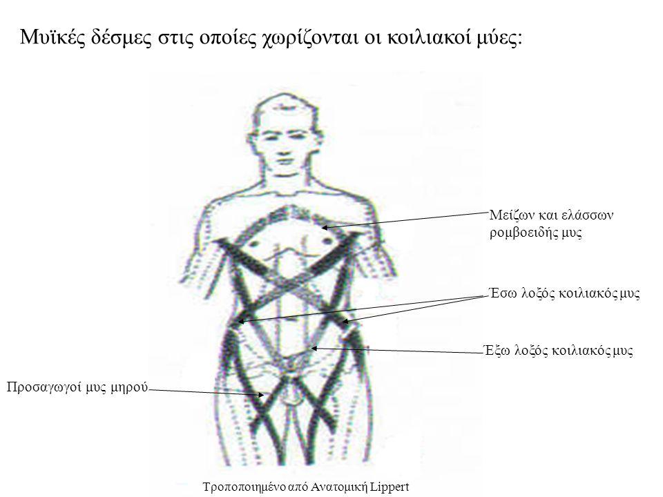 Μυϊκές δέσμες στις οποίες χωρίζονται οι κοιλιακοί μύες: