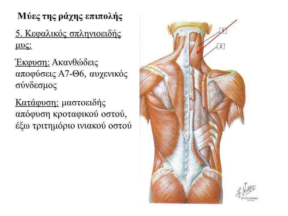 5. Κεφαλικός σπληνιοειδής μυς: