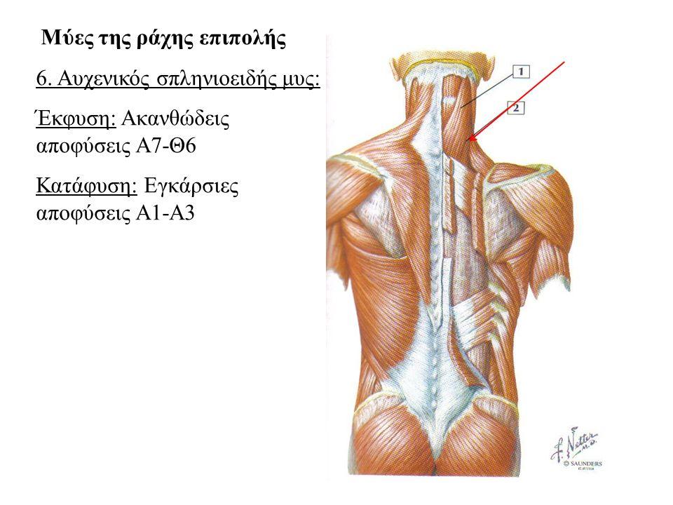 6. Αυχενικός σπληνιοειδής μυς: Έκφυση: Ακανθώδεις αποφύσεις Α7-Θ6