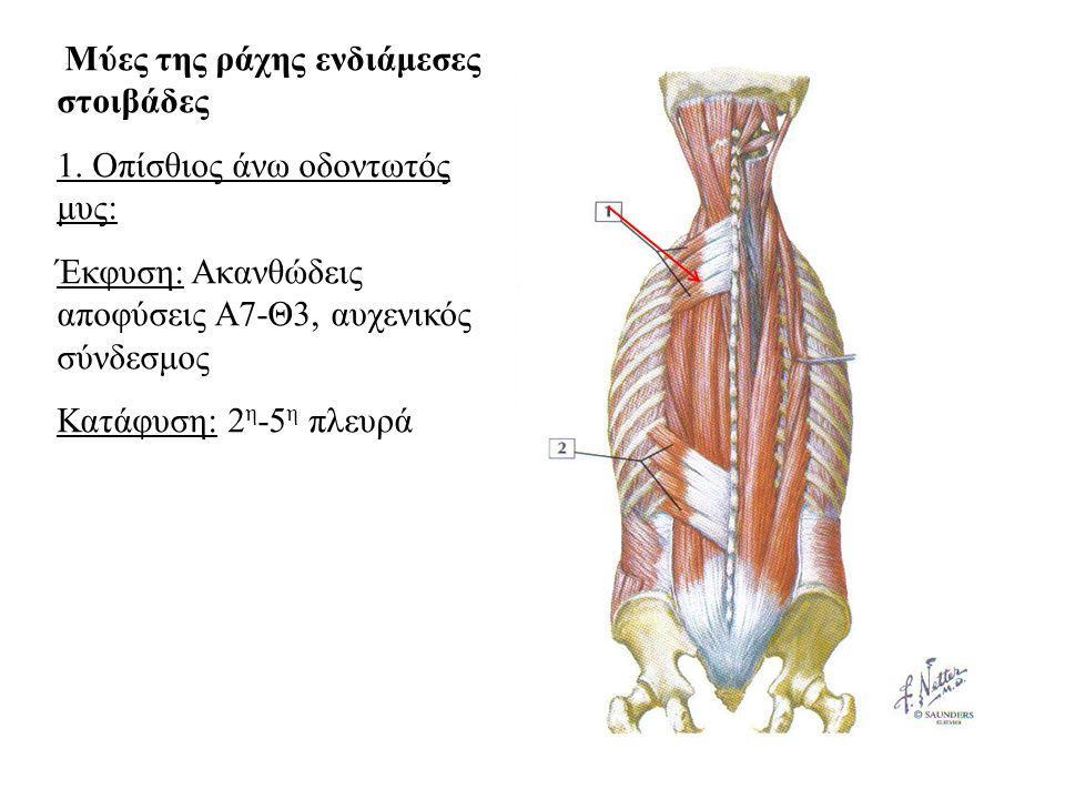 1. Οπίσθιος άνω οδοντωτός μυς: