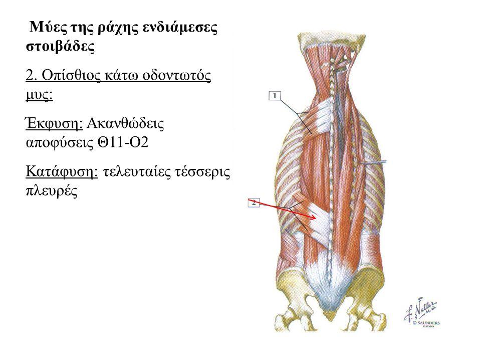 2. Οπίσθιος κάτω οδοντωτός μυς: