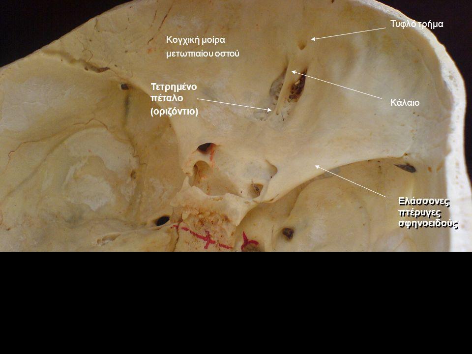 Τυφλό τρήμα Κογχική μοίρα μετωπιαίου οστού. Τετρημένο πέταλο (οριζόντιο) Κάλαιο.