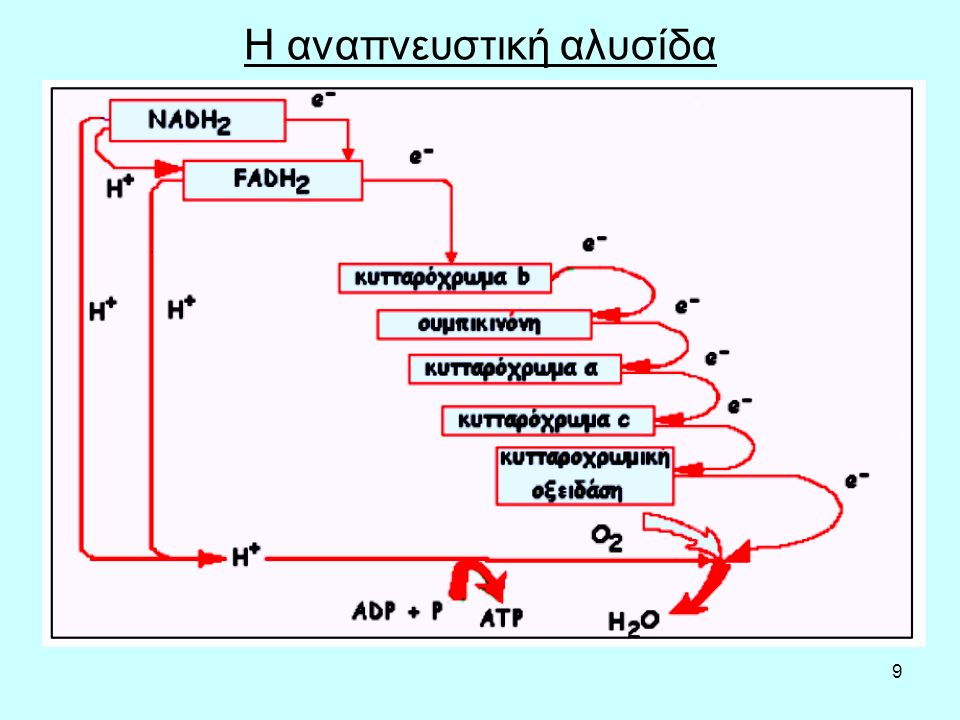Η αναπνευστική αλυσίδα
