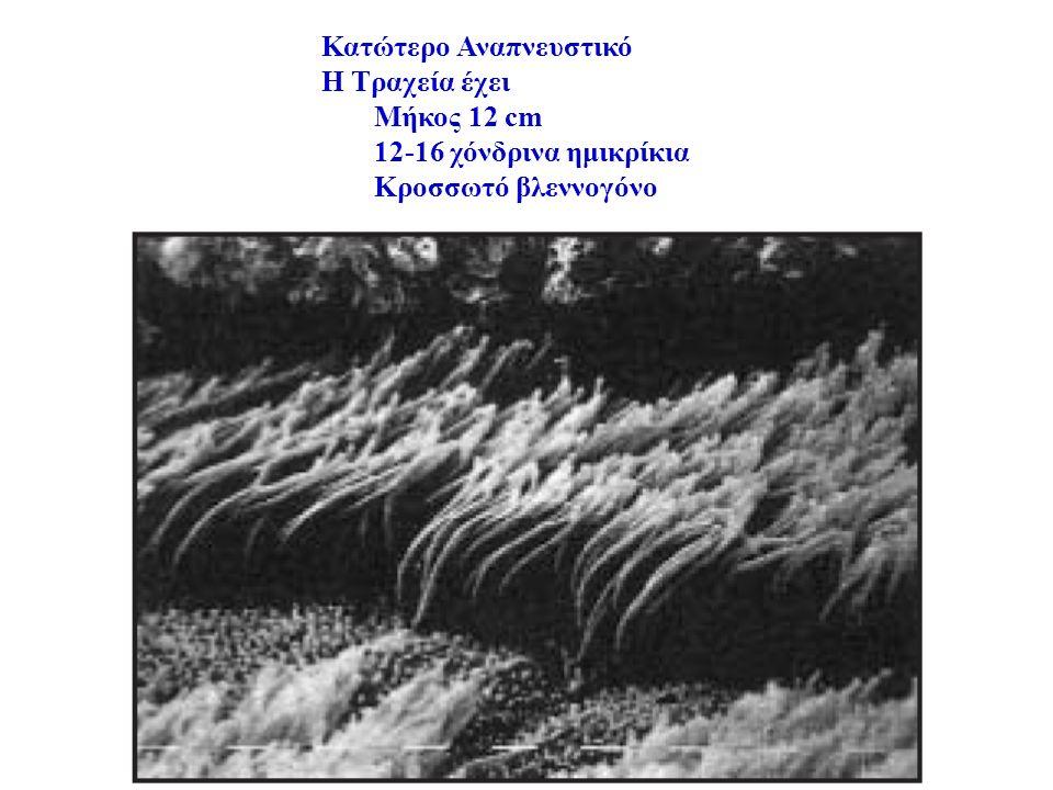 Κατώτερο Αναπνευστικό Η Τραχεία έχει Μήκος 12 cm