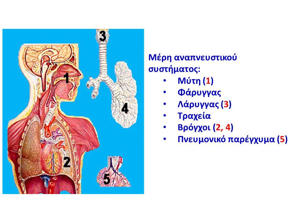 Μέρη αναπνευστικού συστήματος: