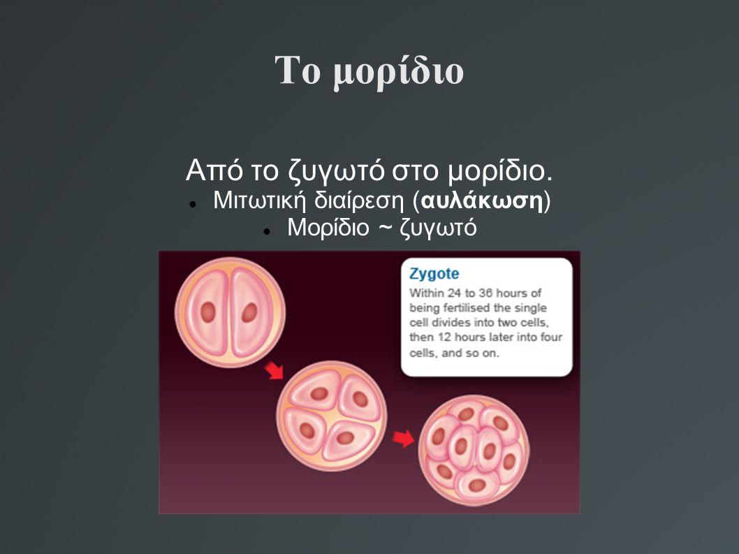 Το μορίδιο Από το ζυγωτό στο μορίδιο. Μιτωτική διαίρεση (αυλάκωση)
