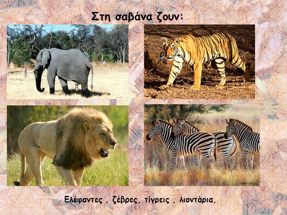 Ελέφαντες , ζέβρες, τίγρεις , λιοντάρια,