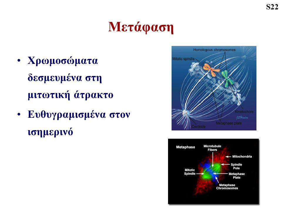 Μετάφαση Χρωμοσώματα δεσμευμένα στη μιτωτική άτρακτο