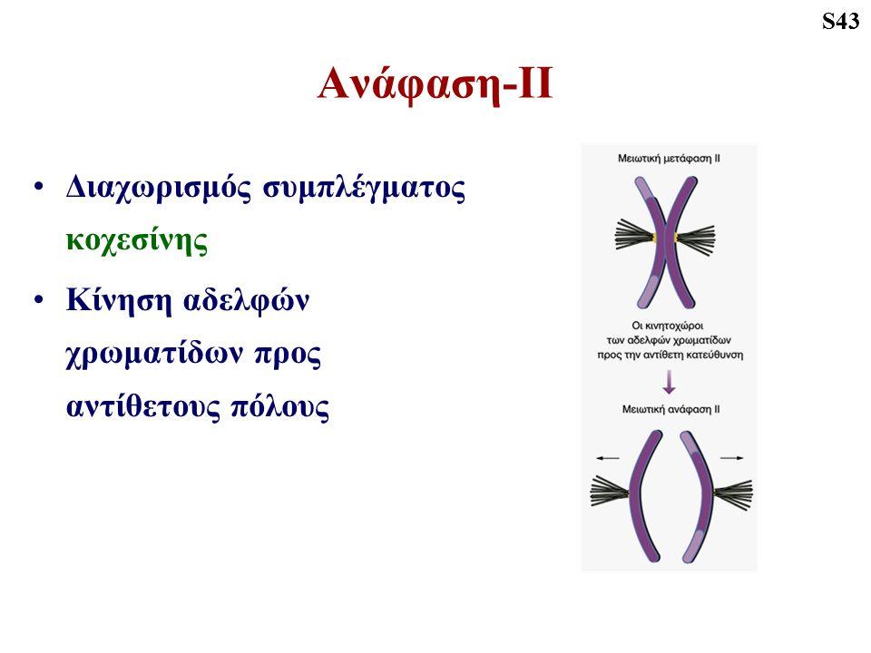 Ανάφαση-ΙΙ Διαχωρισμός συμπλέγματος κοχεσίνης