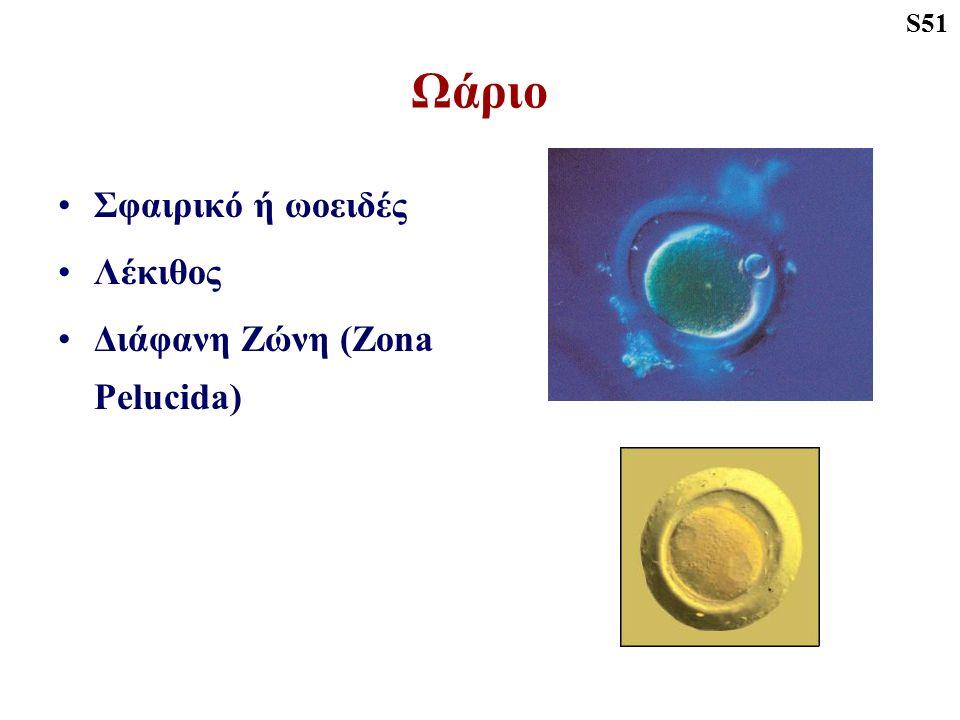 S51 Ωάριο Σφαιρικό ή ωοειδές Λέκιθος Διάφανη Ζώνη (Zona Pelucida)