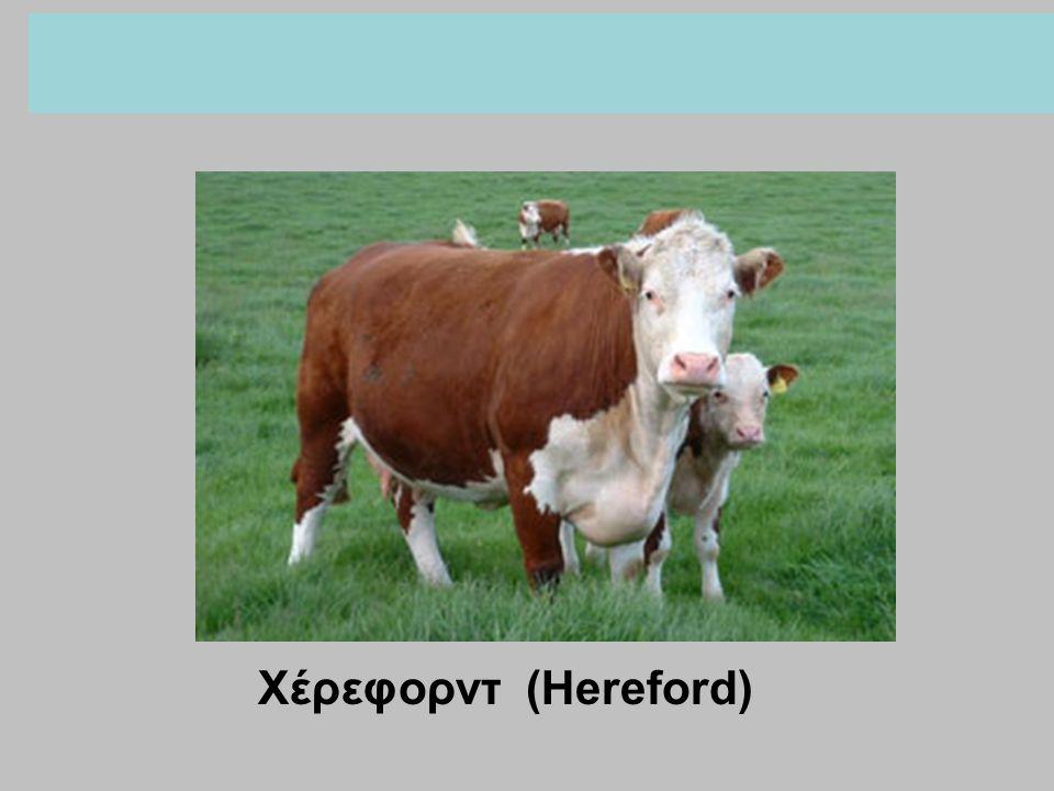 Χέρεφορντ (Hereford)