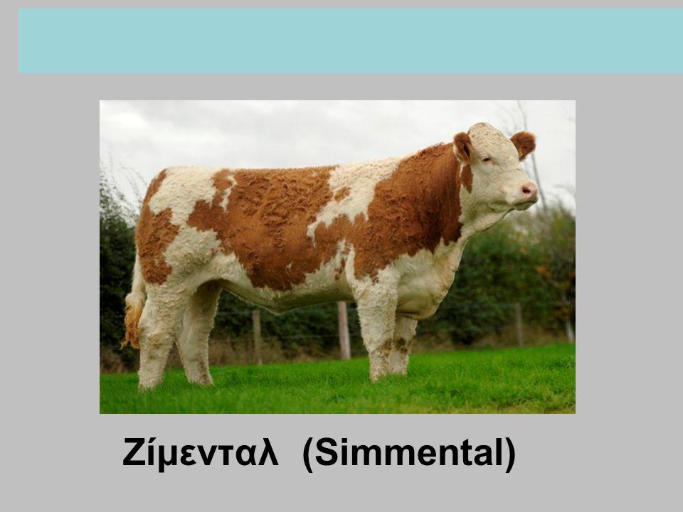 Ζίμενταλ (Simmental)