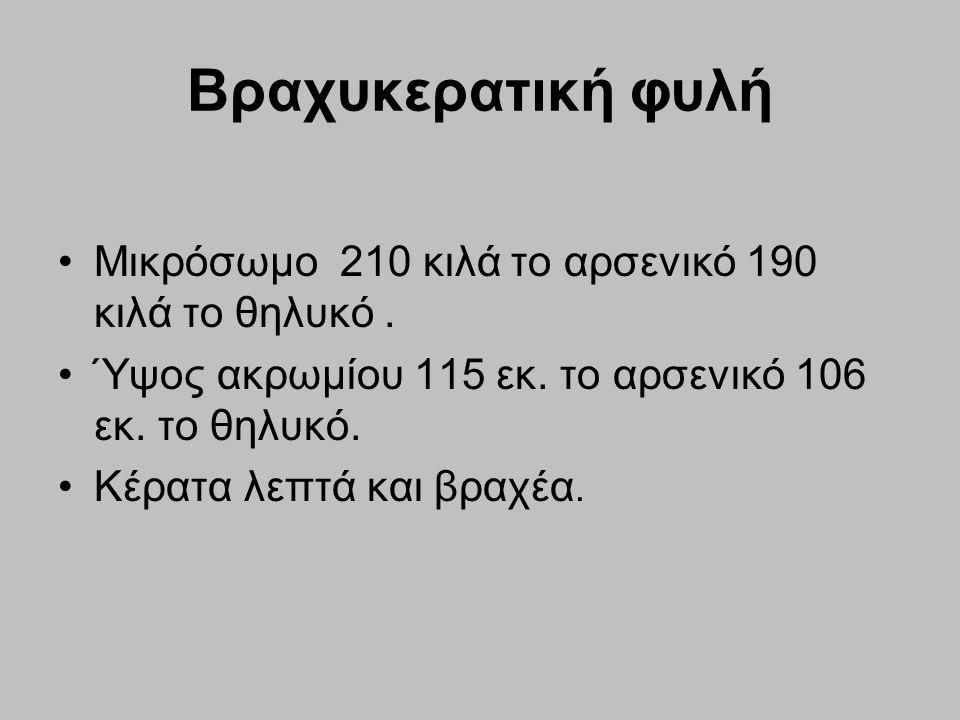 Βραχυκερατική φυλή Μικρόσωμο 210 κιλά το αρσενικό 190 κιλά το θηλυκό .