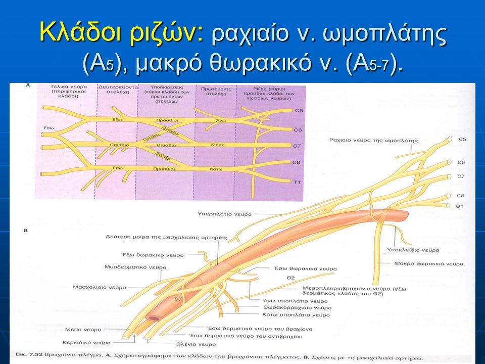 Κλάδοι ριζών: ραχιαίο ν. ωμοπλάτης (Α5), μακρό θωρακικό ν. (Α5-7).