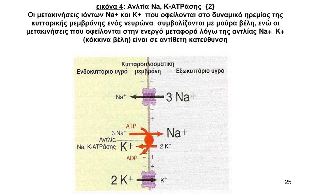 εικόνα 4: Ανλτία Na, K-ATΡάσης {2} Οι μετακινήσεις ιόντων Na+ και K+ που οφείλονται στο δυναμικό ηρεμίας της κυτταρικής μεμβράνης ενός νευρώνα συμβολίζονται με μαύρα βέλη, ενώ οι μετακινήσεις που οφείλονται στην ενεργό μεταφορά λόγω της αντλίας Na+ K+ (κόκκινα βέλη) είναι σε αντίθετη κατεύθυνση