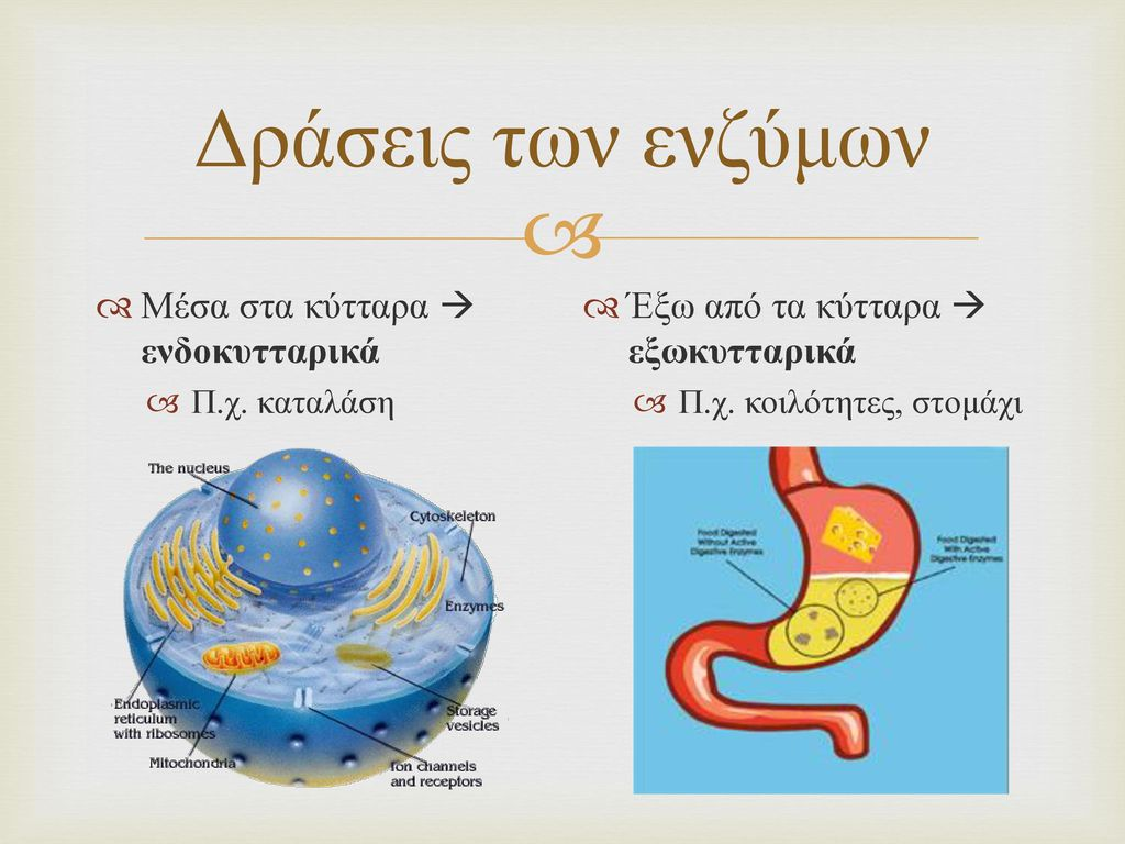 Δράσεις των ενζύμων Μέσα στα κύτταρα  ενδοκυτταρικά