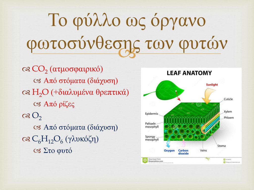 Το φύλλο ως όργανο φωτοσύνθεσης των φυτών