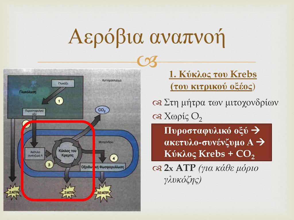 1. Κύκλος του Krebs (του κιτρικού οξέος)