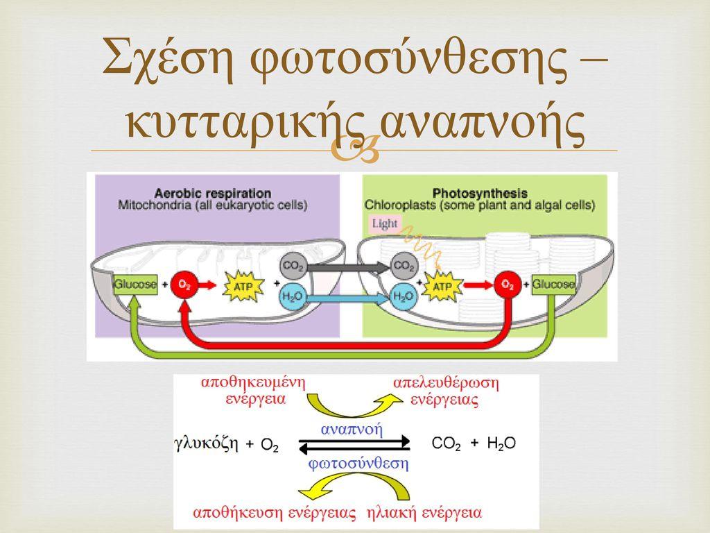 Σχέση φωτοσύνθεσης – κυτταρικής αναπνοής