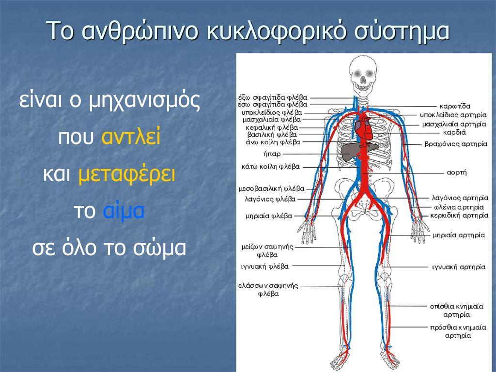 Το ανθρώπινο κυκλοφορικό σύστημα