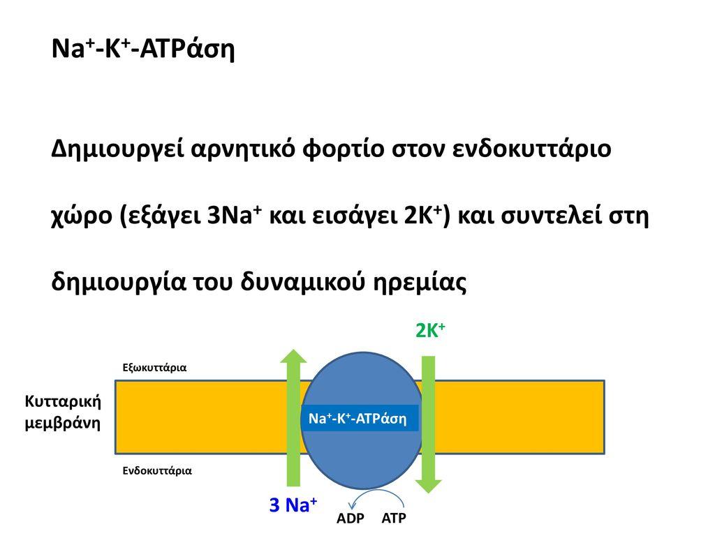 Na+-Κ+-ATPάση Δημιουργεί αρνητικό φορτίο στον ενδοκυττάριο χώρο (εξάγει 3Na+ και εισάγει 2Κ+) και συντελεί στη δημιουργία του δυναμικού ηρεμίας.