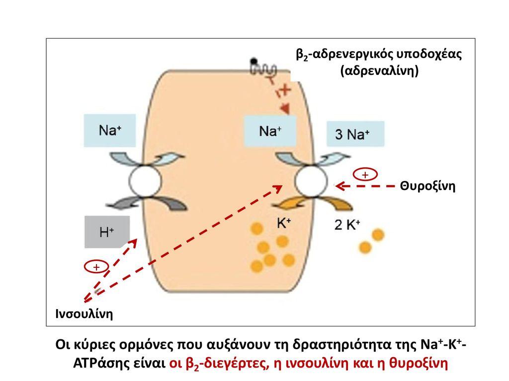 β2-αδρενεργικός υποδοχέας