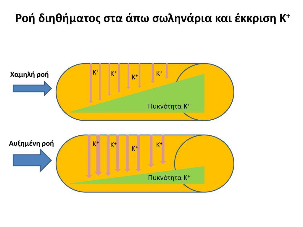 Ροή διηθήματος στα άπω σωληνάρια και έκκριση Κ+