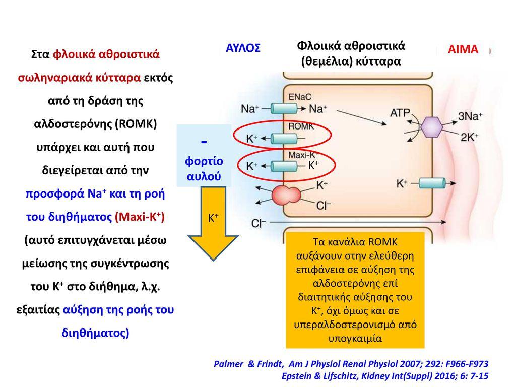 Φλοιικά αθροιστικά (θεμέλια) κύτταρα