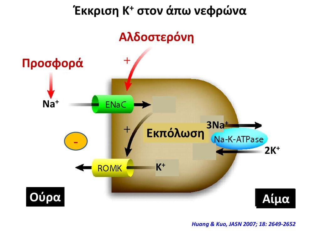 Έκκριση Κ+ στον άπω νεφρώνα