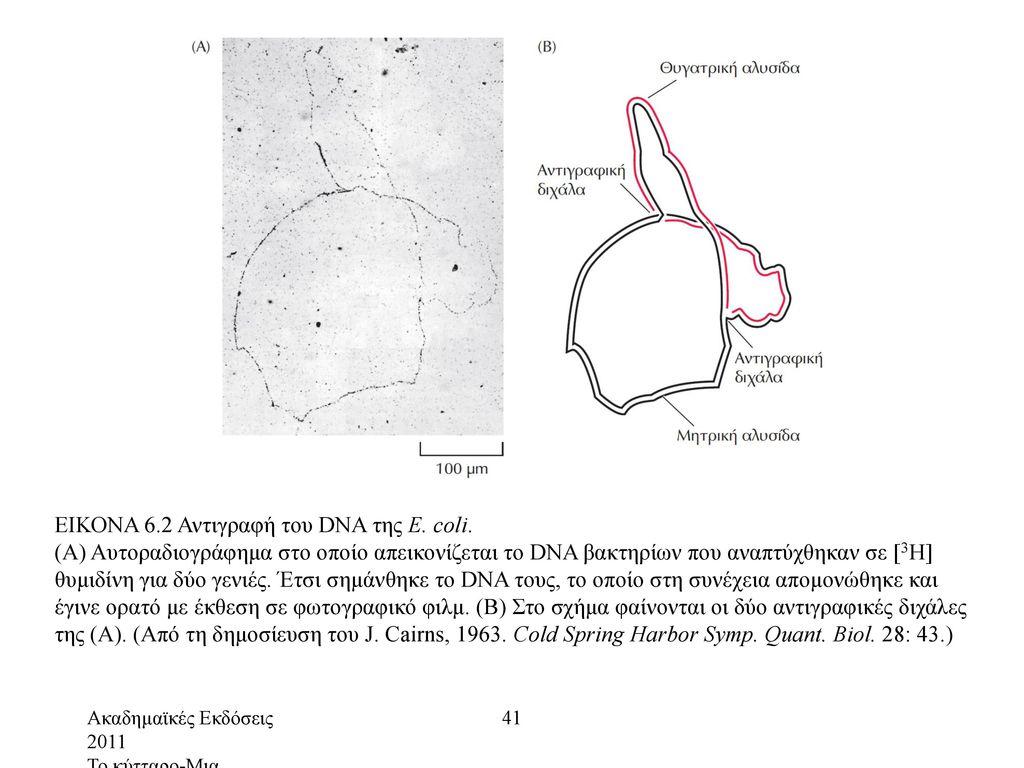 ΕΙΚΟΝΑ 6.2 Αντιγραφή του DNA της E. coli.