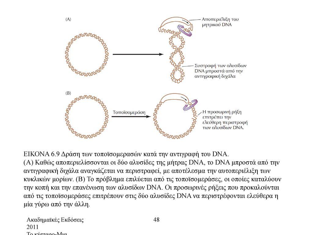 ΕΙΚΟΝΑ 6.9 Δράση των τοποϊσομερασών κατά την αντιγραφή του DNA.
