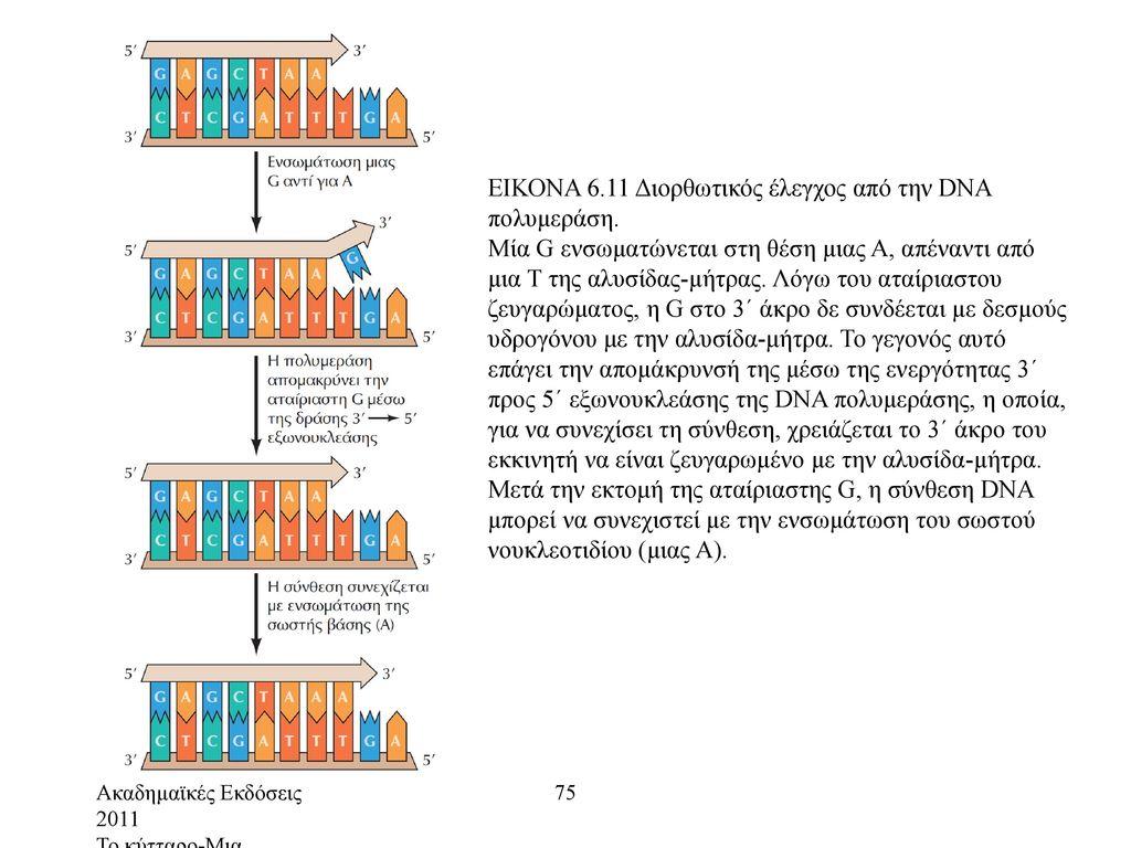 ΕΙΚΟΝΑ 6.11 Διορθωτικός έλεγχος από την DNA πολυμεράση.