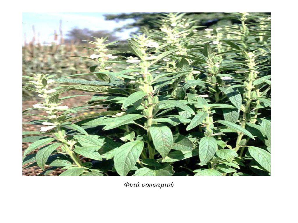 Φυτά σουσαµιού