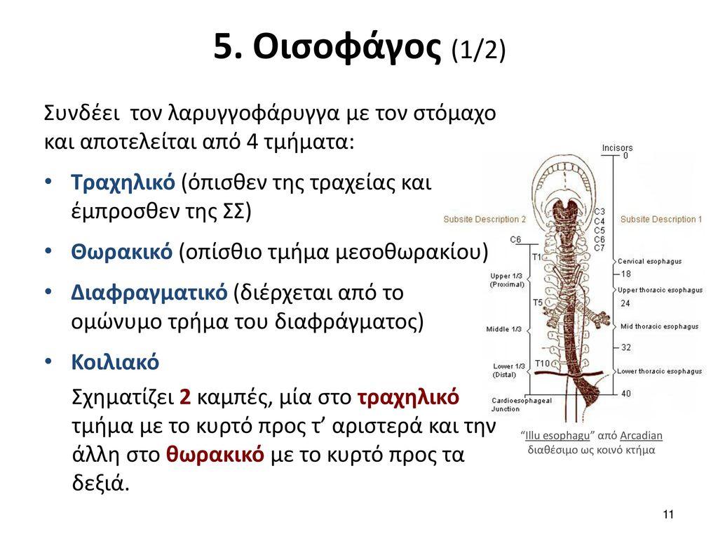 5. Οισοφάγος (2/2) Έχει 4 στενώματα: